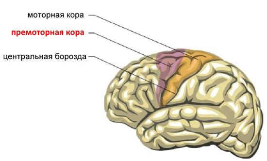 Премоторная кора больших полушарий головного мозга