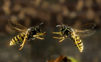 Гуси спасли Рим – 2 осы спасут дикцию!