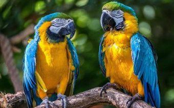 Как друг друга пугали попугаи в скороговорке?