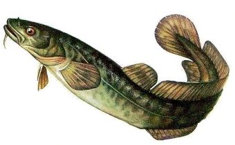 «На мели мы налима лениво ловили» – самая романтичная рыбацкая скороговорка